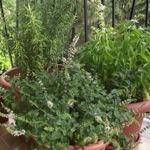Rovarriasztó fűszernövények