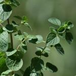 Fűszernövények termesztése otthon