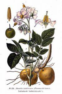 Burgonya-wikipedia