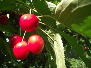 Cseresznye a fán
